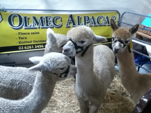Some happy Alpacas... sorry for the iPod image quality